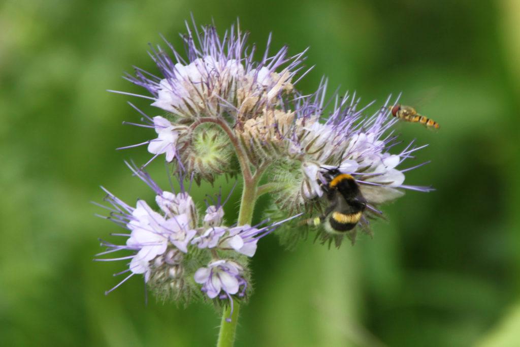 Foto: Lasse Persson - Blomma och bi