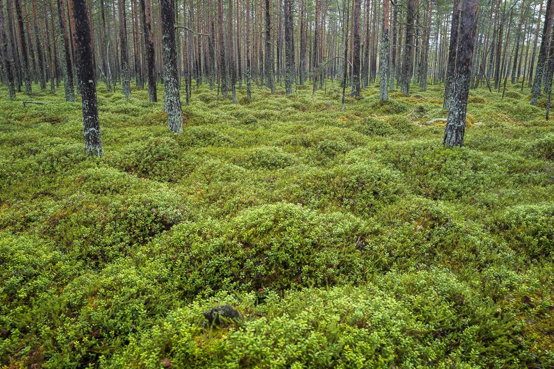 Foto: Tommy Engman - Bärskogen